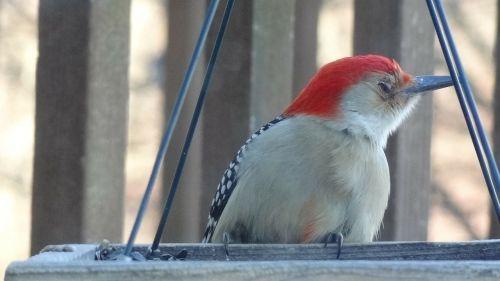 woodpecker nature bird feeder