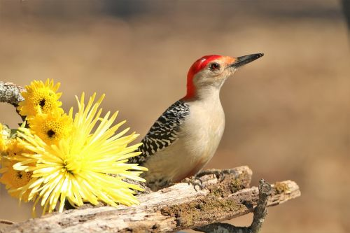 Woodpecker And Yellow Mums