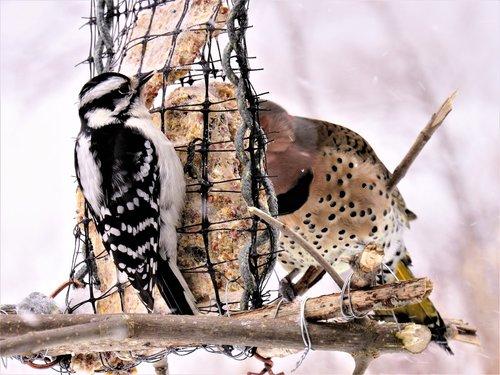 woodpeckers  flicker woodpecker  downy woodpecker