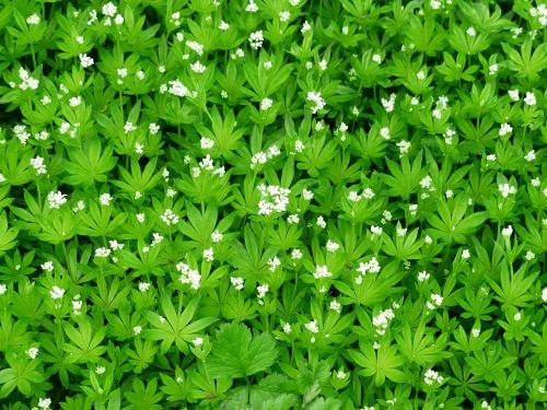 woodruff blossom bloom