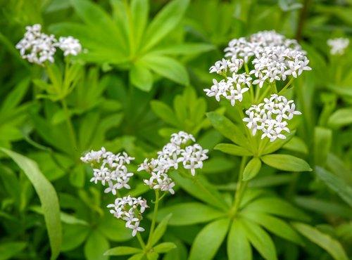 woodruff  galium odoratum  fragrant bedstraw