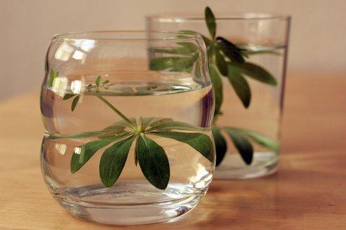 woodruff  galium odoratum  drink