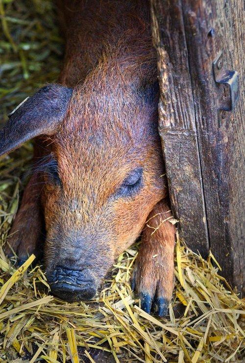 wool pig  piglet  pig