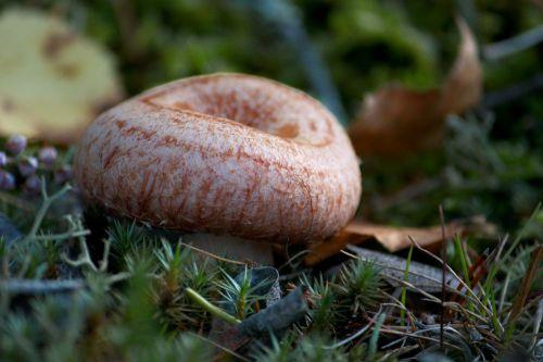 woolly milkcap bearded milkcap lactarius torminosus