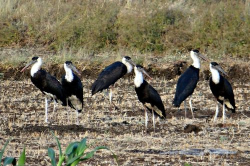 woolly-necked stork bishop stork white-necked stork
