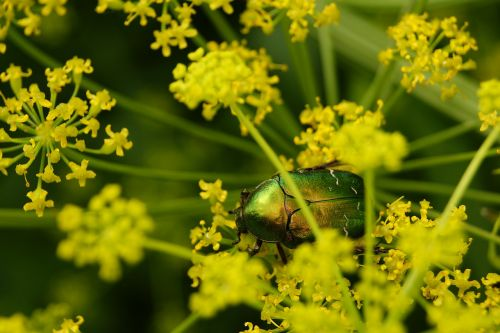 worm insect the beetle