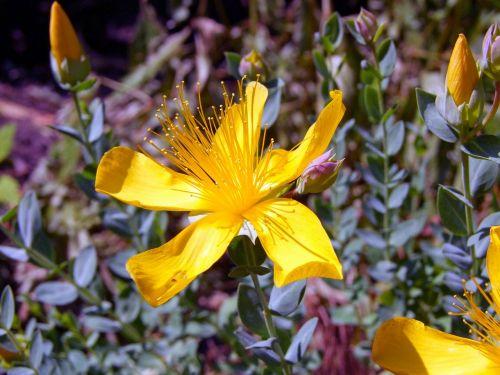 wort hypericum perforatum yellow