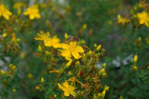 wort flower blossom