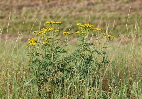 wrotycz flower yellow