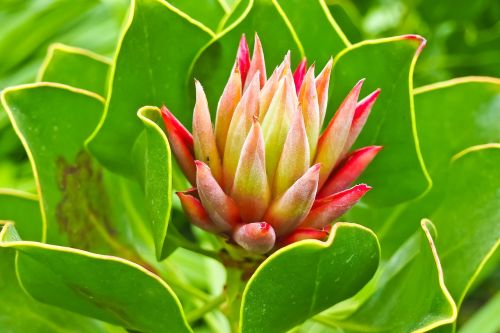 wurz houseleek turmeric plant