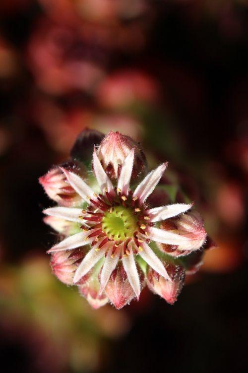 wurz blossom bloom