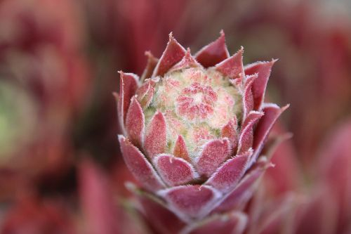 wurz stone garden red