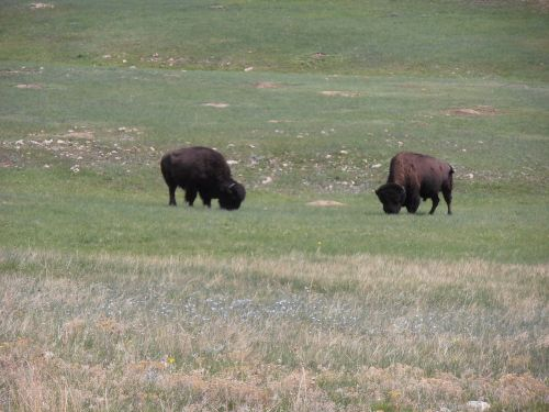wyoming buffalo bison