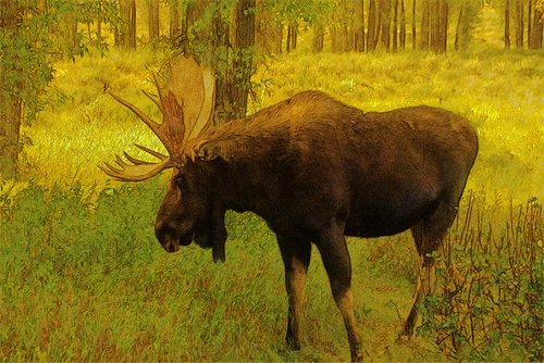 wyoming bull moose  moose  elk