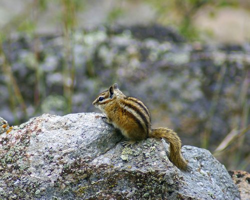 wyoming chipmunk at devils tower  animal  rodent