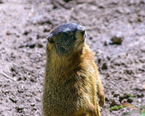 wyoming yellow-bellied marmot  rock chuck  animal