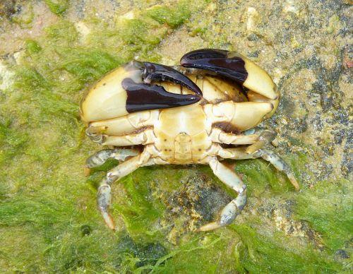 xantho poressa crab nature
