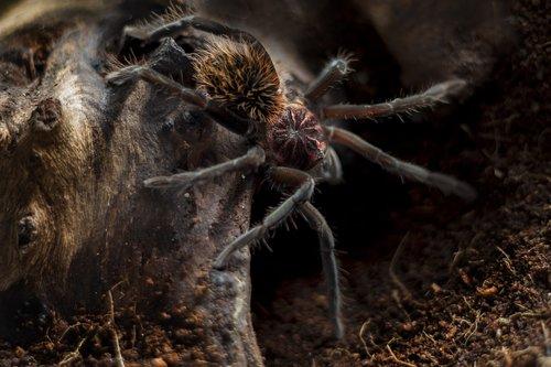 xenesthis  immanis  tarantula