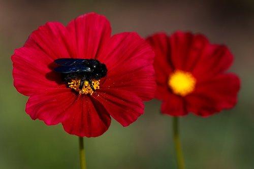 xylocopa violacea  humblebee  black