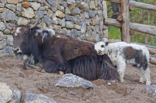 yak mongolia beef