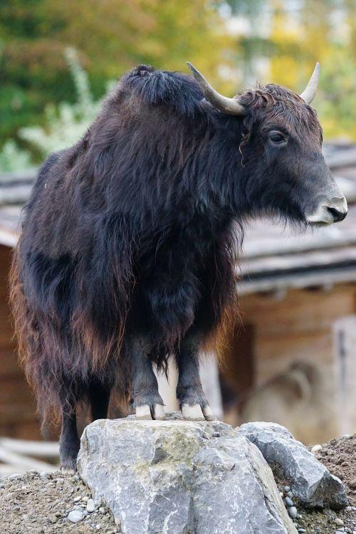 yak beef domestic cattle