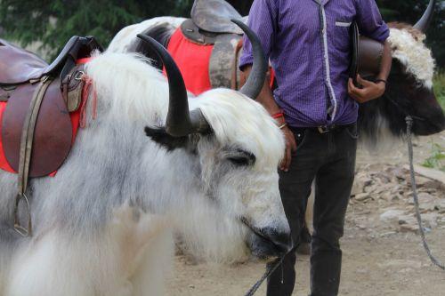 yak himalayan grunting-ox