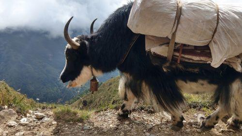 yak nepal alpine