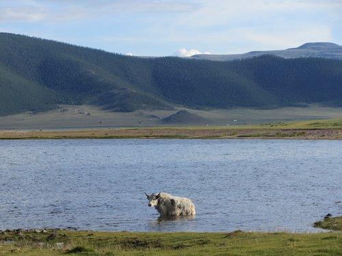 yak  lake  mongolia