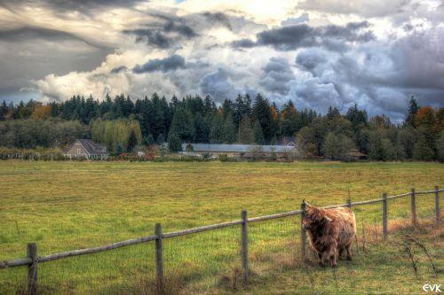 yak clouds animals