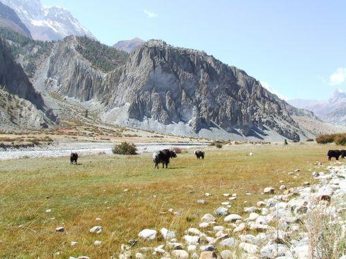 yak mountains himalayan