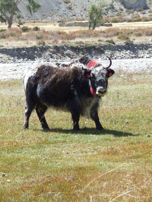 yak himalayan nepal