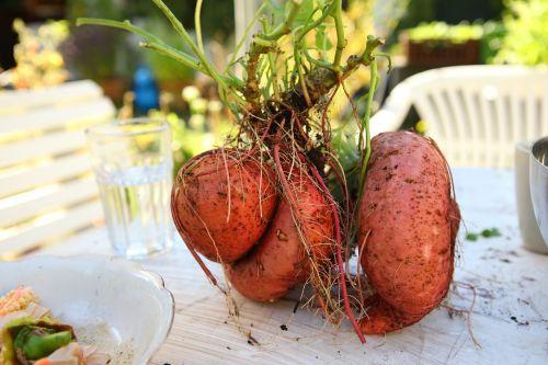 yam harvest sweet-potato