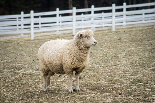 yang sheep animal
