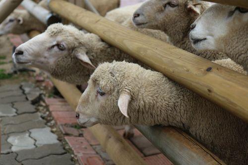 yang sheep gangwon do