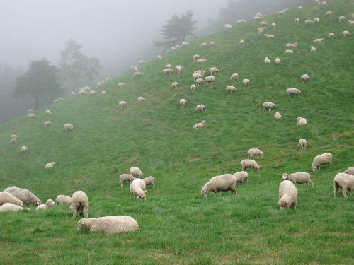 gangwon do ranch livestock