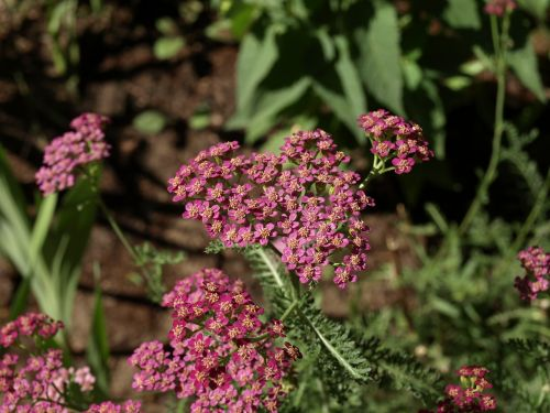 yarrow achillea millefolium milfoil