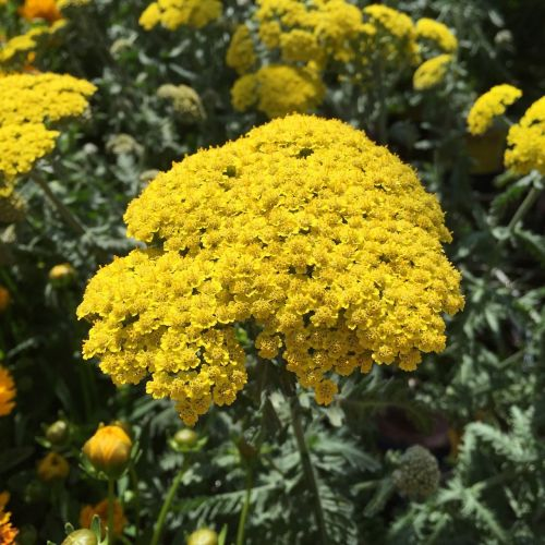 yarrow water wise plant summer plant