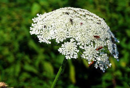 yarrow flower grassland plants