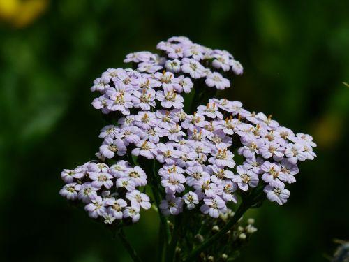 yarrow blueme blossom