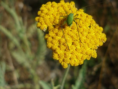 yarrow nature yellow