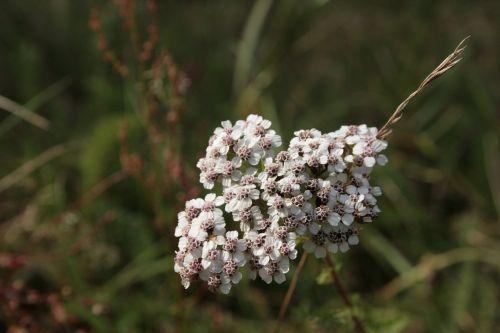 yarrow achillea millefolium wild flower