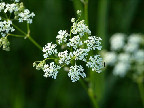 yarrow flower white