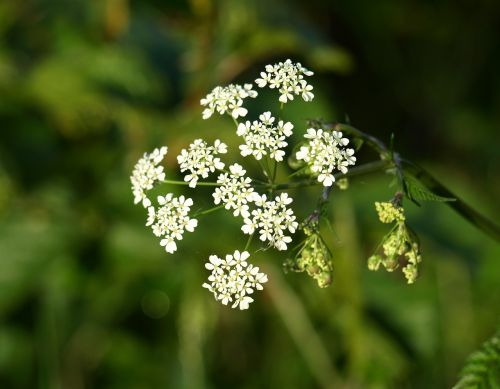 yarrow flower pointed flower