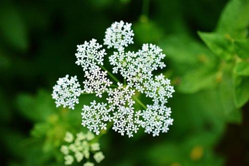yarrow  pointed flower  medicinal herbs
