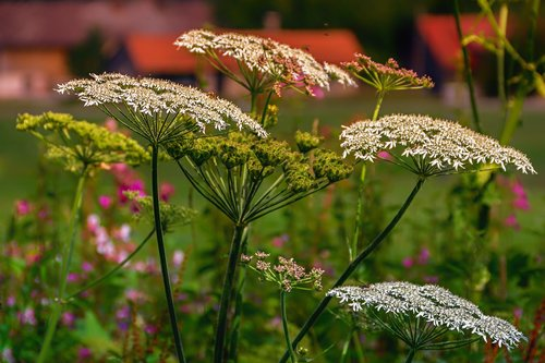 yarrow  wild herbs  blossom