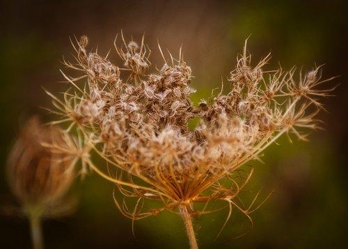 yarrow  nature  wild flower
