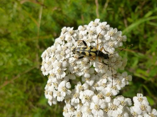 yarrow insect beetle