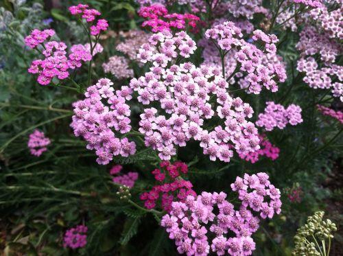 yarrow herb millefolium