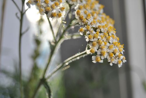 yarrow medicinal herbs healthy