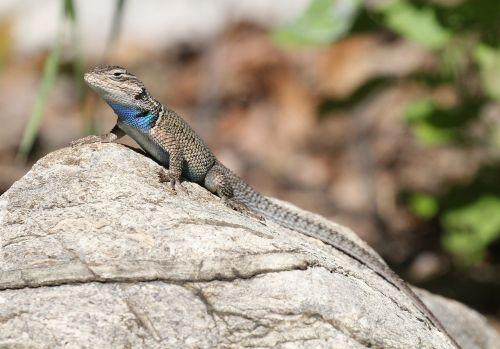 yarrow's spiny lizard reptile wildlife